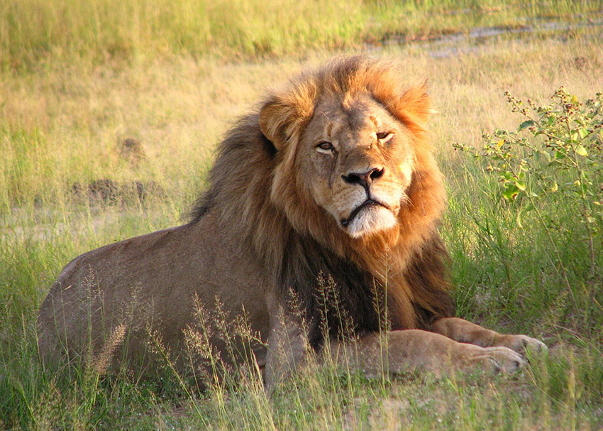 Cecil the lion, shot by trophy hunter