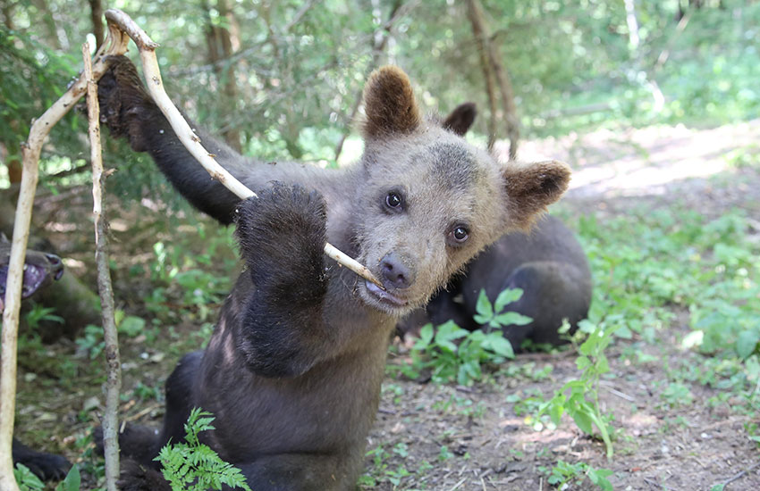The Orphan Bear Rescue Center is run by the International Fund for Animal Welfare