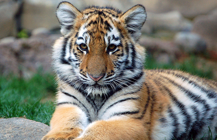 It's believed only 3,200 tigers remain in the wild