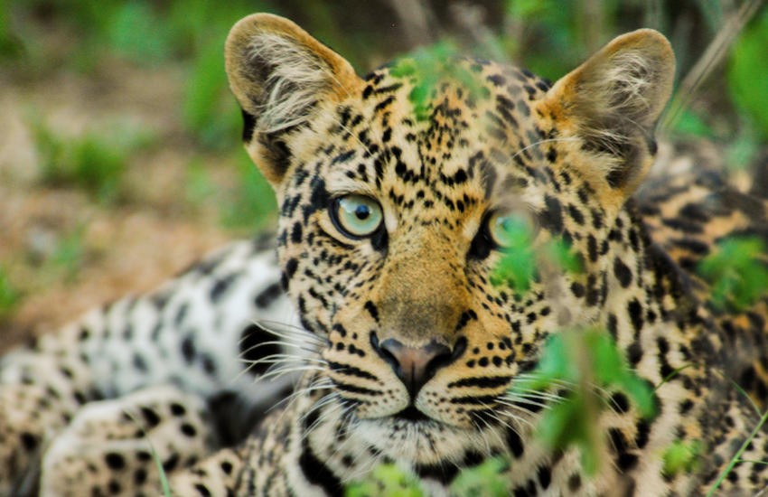 The leopard is among the most imported endangered species in the UK