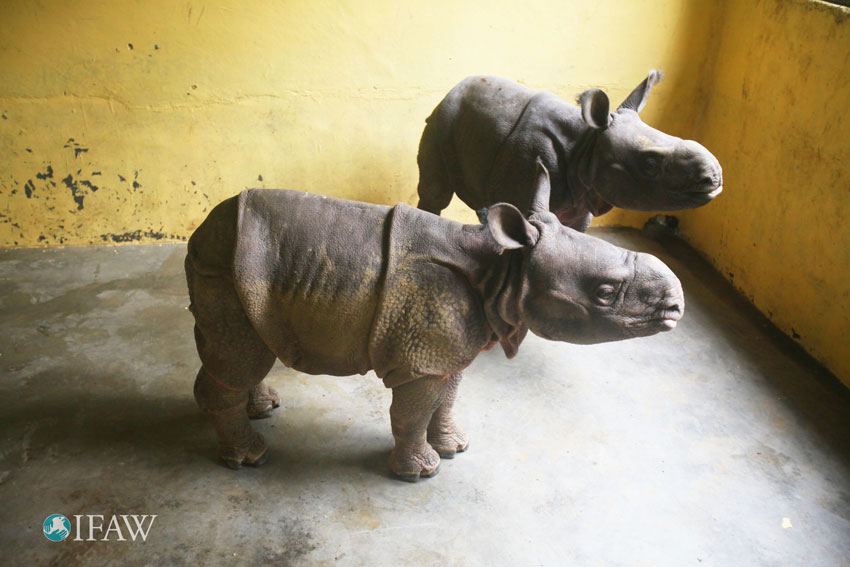 Two of the rhinos saved from floods in Kaziranga National Park last month