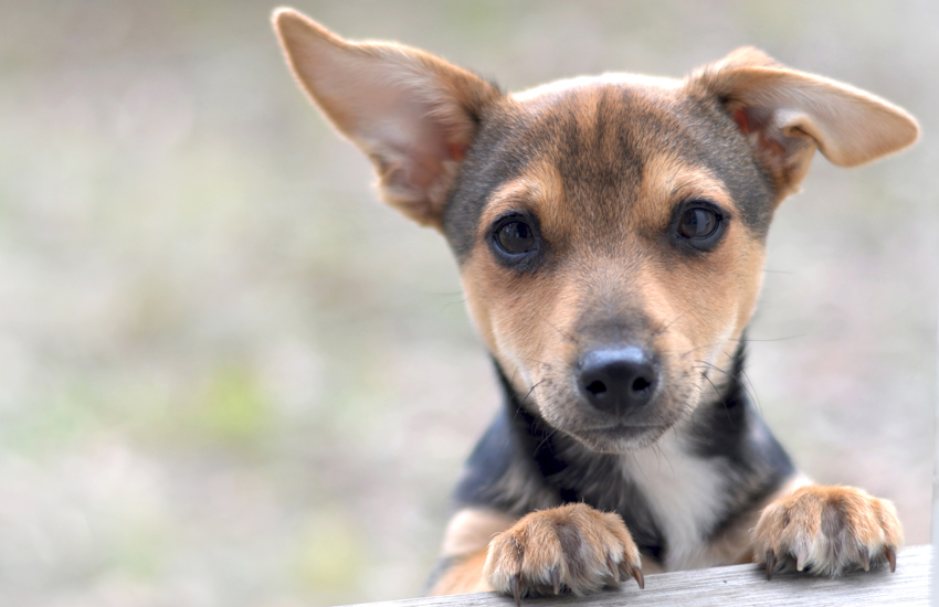 Intense demand leads to young dogs being smuggled across Europe