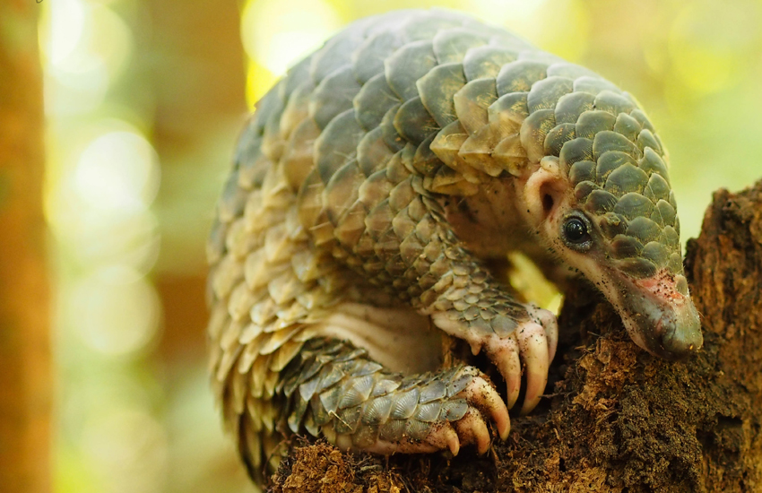 The pangolin is the most illegally-traded mammal in the world