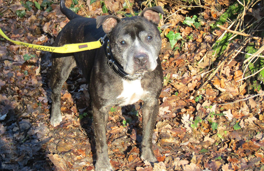 Staffordshire bull terrier Jodie is intersex - and looking for a new home