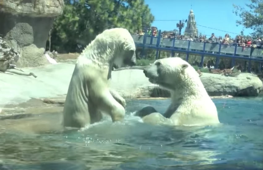 Polar bears Szenja and Snowflake play fighting
