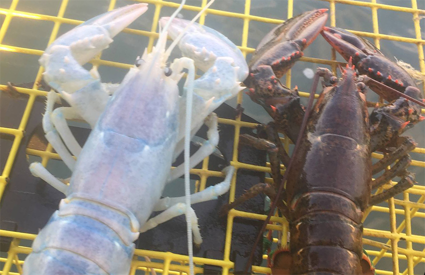 The rare, translucent lobster was caught by fisherman Alex Todd
