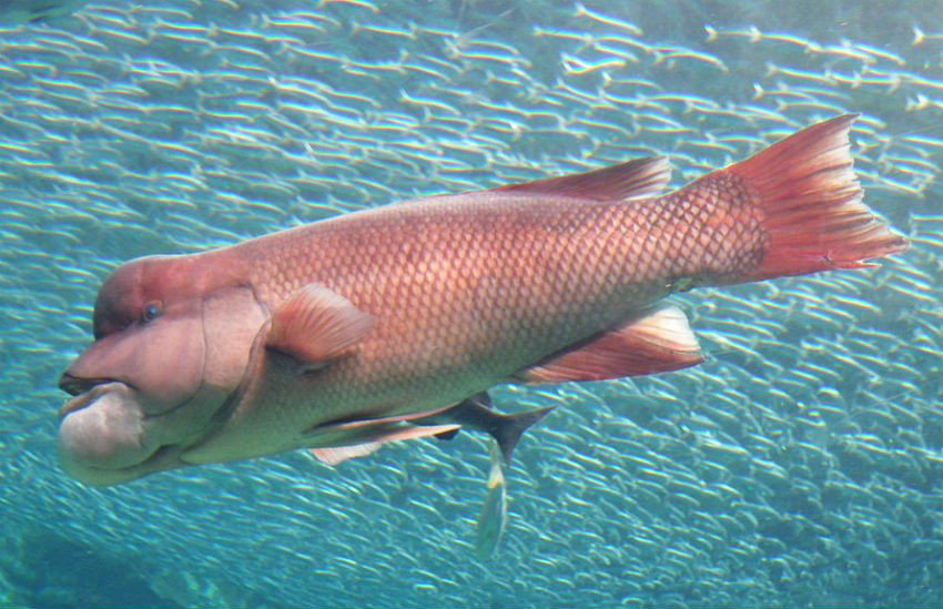 The Asian sheepshead wrasse is the largest species of wrasse