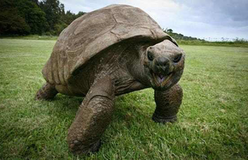 Jonathan, the world's oldest gay tortoise