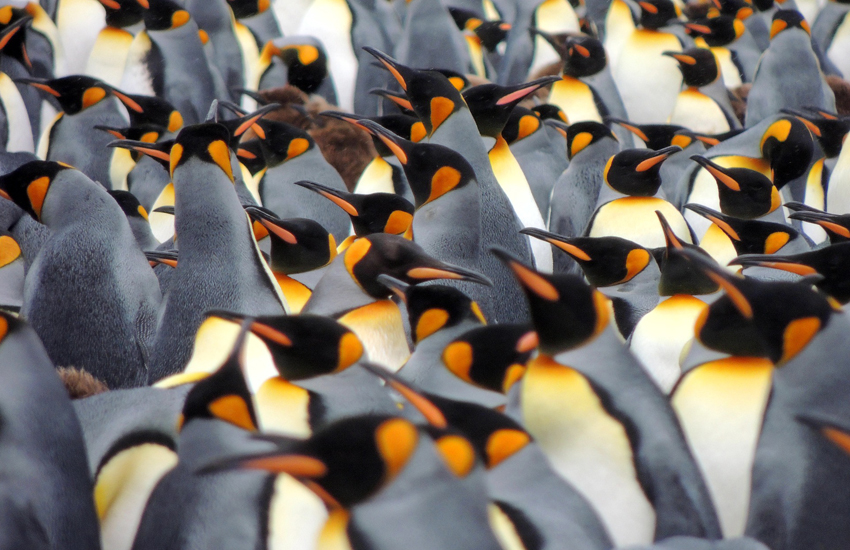 The penguins of South Georgia & South Sandwich Islands