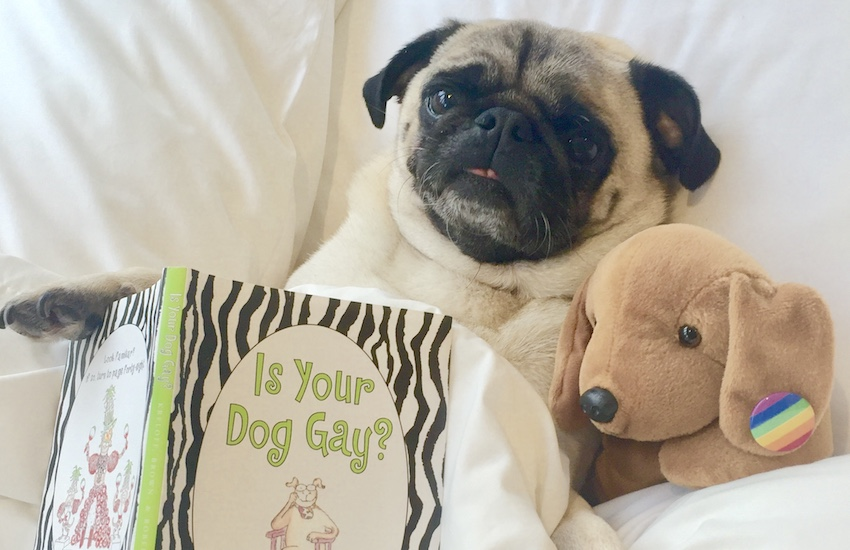 This is the adorable Doug the therapy pug. | Photo: Pets As Therapy