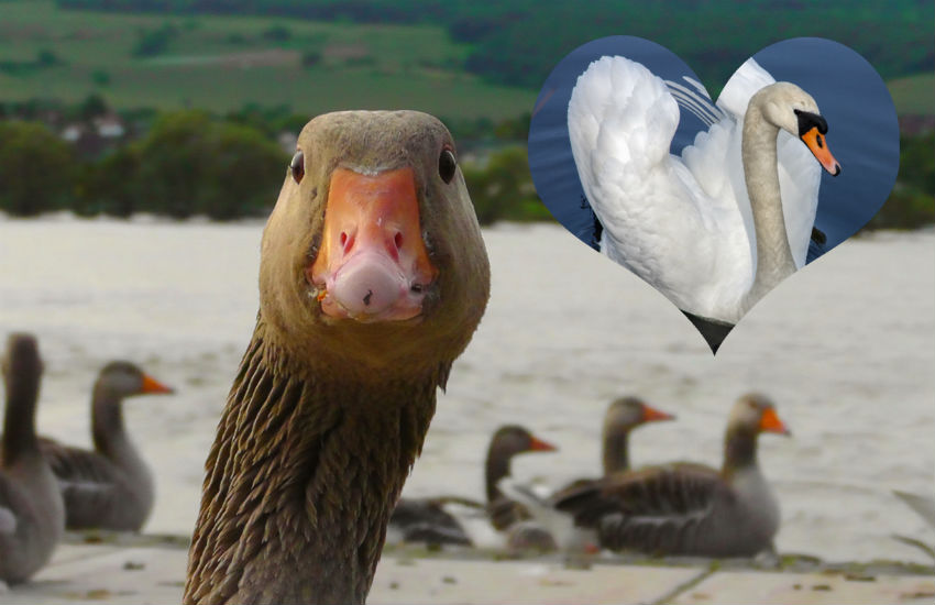 Bisexual goose and his partner, a swa