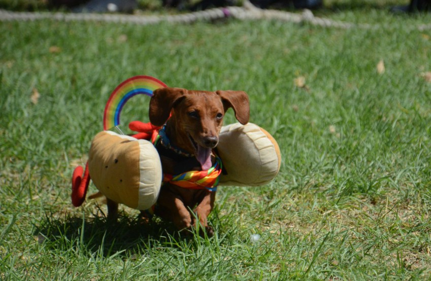 A dachshund in a hot dog costume running across the grass