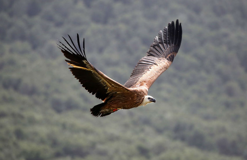 A vulture released in Sardinia
