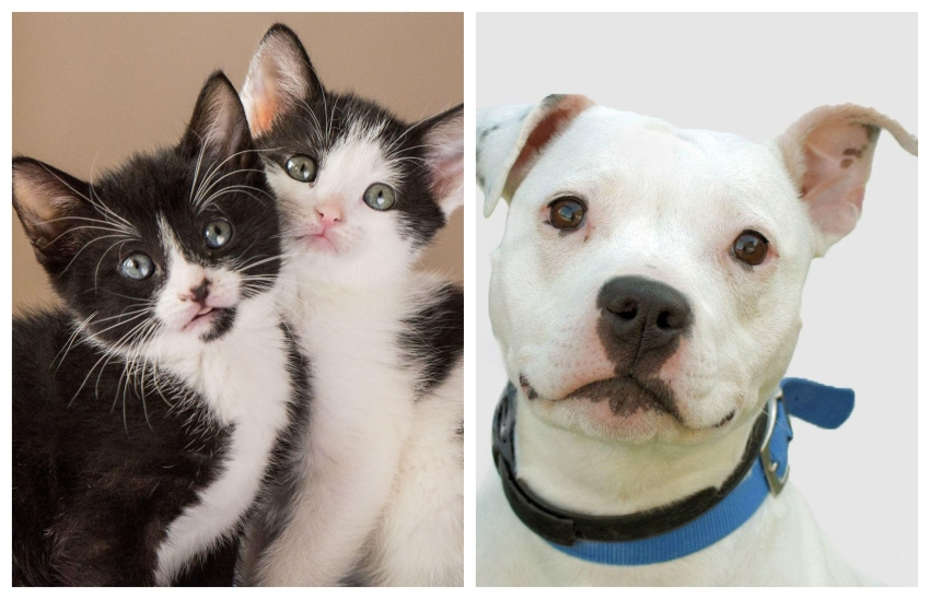 two kittens on the left photo and white pitbull looking unknowingly at the camera