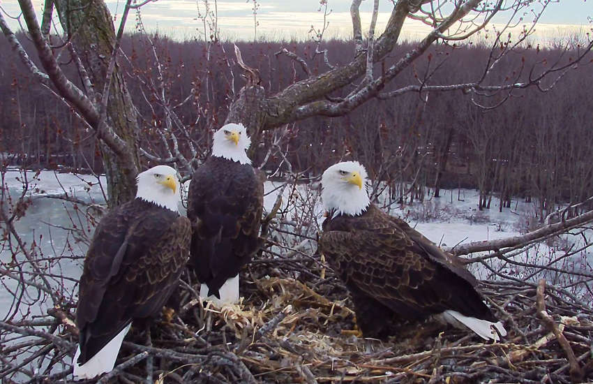 Valor I, Valor II, and Starr are a three-parent eagle family. (Photo: Facebook / Stewards of the Upper Mississippi River Refuge)