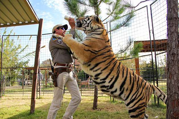 A tiger gets hand fed.